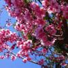 桜さくら満開