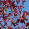 モミジバフウ(紅葉葉楓 アメリカフウ)