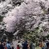 【桜たより】新宿御苑