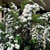 コデマリ の花散歩