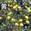 橘始黄(小雪末候)