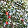 椿の花ちらほらと0117