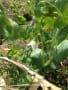 栽培記録-1(スナップエンドウ、平戸ニンニク、ニラ、アスパラガス、葉ダイコン、ラディッシュ、エンドウ)