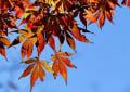 保土ヶ谷公園の紅葉 1