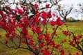 百梅園の梅まつり