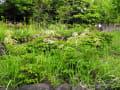 トリアシショウマ(鳥足升麻)の花