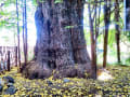 東京都北区王子神社2 イチョウの巨樹 23