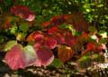 ベニマンサク・大野自然観察の森 211015