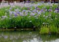 2016.6.6 山田池公園の花菖蒲をみてきました