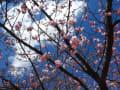 河津桜を眺めに~昼休みの時間に・・・
