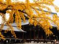 西本願寺の銀杏