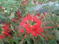 9月五6日の花