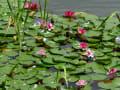 富士見鹿の池のスイレン