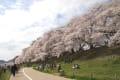 背割堤の桜 2015