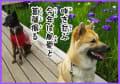 2017泉谷公園の菖蒲と雑種犬鈴と風愛