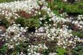 【夏の花々】白馬五竜高山植物園