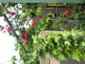 近くのオープンガーデン 美しいバラがいっぱい