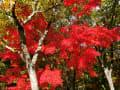 万博記念公園 自然文化園の紅葉