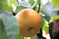 南信州リンゴ&梨狩り 無料バス旅行