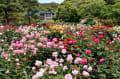 鎌倉文学館バラ園&チサの花