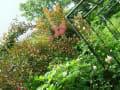 cottage樹樹