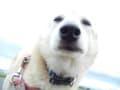 愛犬まるの【モフ顔】