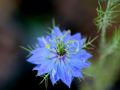 市大植物園初夏のハーブの花
