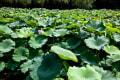 季節の花風景-ハスの花-万博記念公園