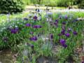 『万博記念公園』はす池と花菖蒲田♪