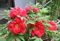 我が家周辺の花