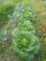 栽培記録-5(山汐菜、白菜、キャベツ、ブロッコリー、レタス、子持ち高菜(春蕾))