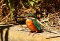 BORG89EDで撮った野鳥