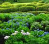 京都の紫陽花 その1(三室戸寺)
