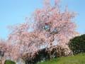 石手川の桜