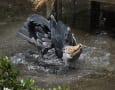 ハシビロコウの水浴び