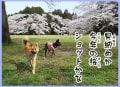 2017年春、桜と愛犬の鈴と風愛