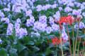 奈良県橿原市 本薬師寺跡畝傍の布袋葵(ホテイアオイ)(11枚) 2012年9月22日