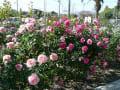 光市・冠山総合公園のバラ