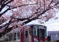 寒桜・海田町 200209