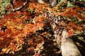 兵庫県宍粟市 最上山公園の紅葉