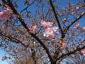 河津桜・・・南町公園~咲き始めました。