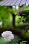 宝徳寺の牡丹