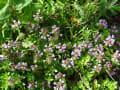 蓼科の花々