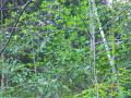 多良山系の山芍薬の花