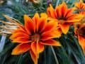 花を眺めて気分をリフレッシュ~~~萩の花・紫陽花・ガザニア等々・・・