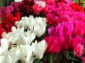 花キ部の温室や店頭にシクラメンやハロウィンの飾り物が並ぶ。 2