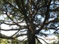 ヒマラヤスギの巨木 6本ほど             right wise