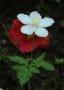 山野草 白色花ーⅡ
