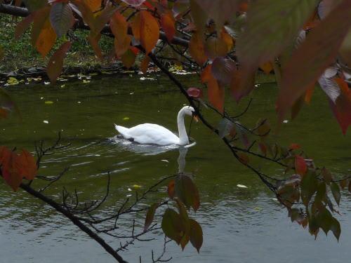松本城お堀の白鳥
