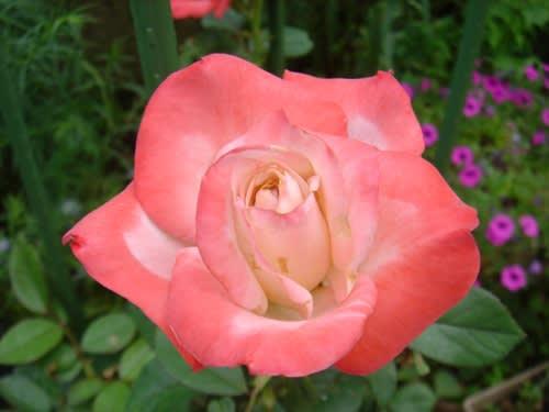 庭のお花その3